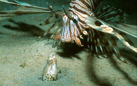 Pterois Callechys
