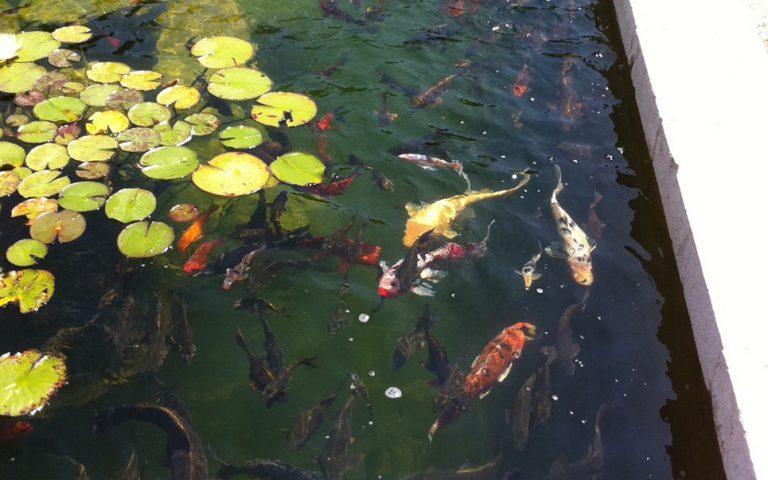 Bassin à carpes koï