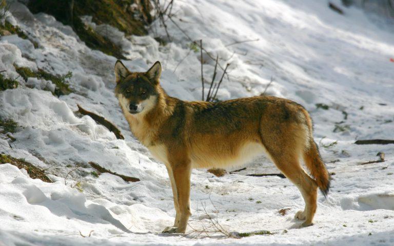 Loup Alpha